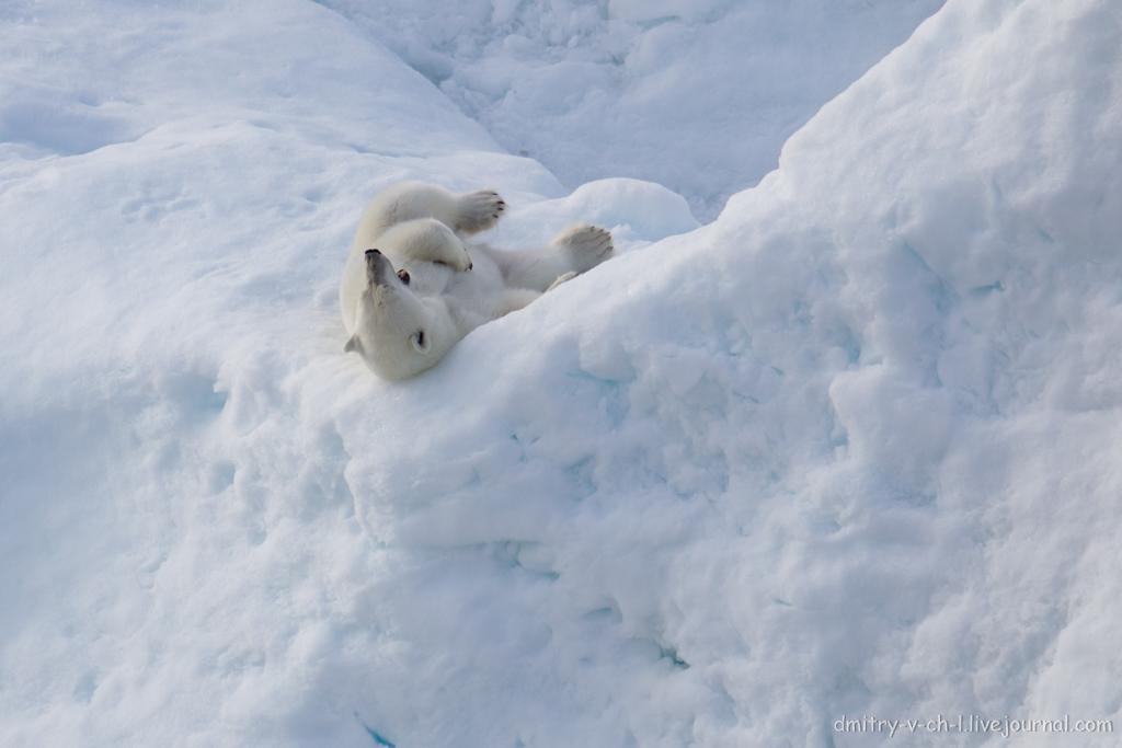 polar bear-21