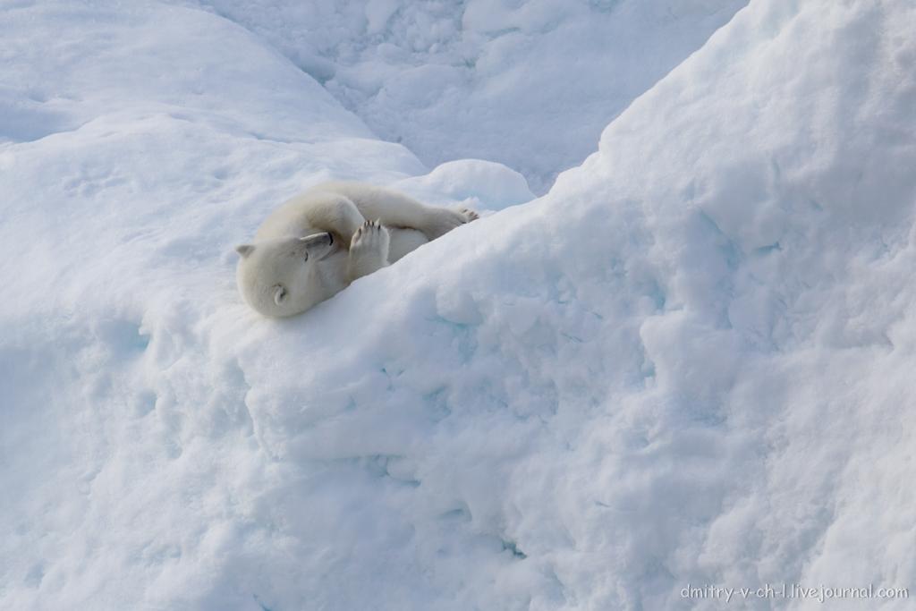 polar bear-22