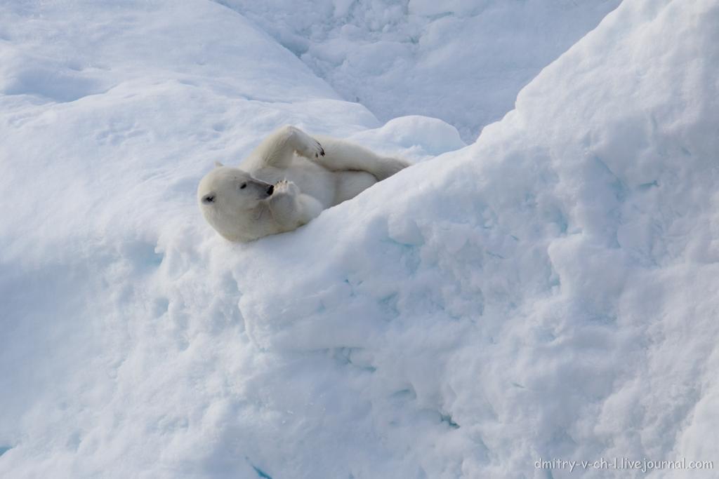 polar bear-23