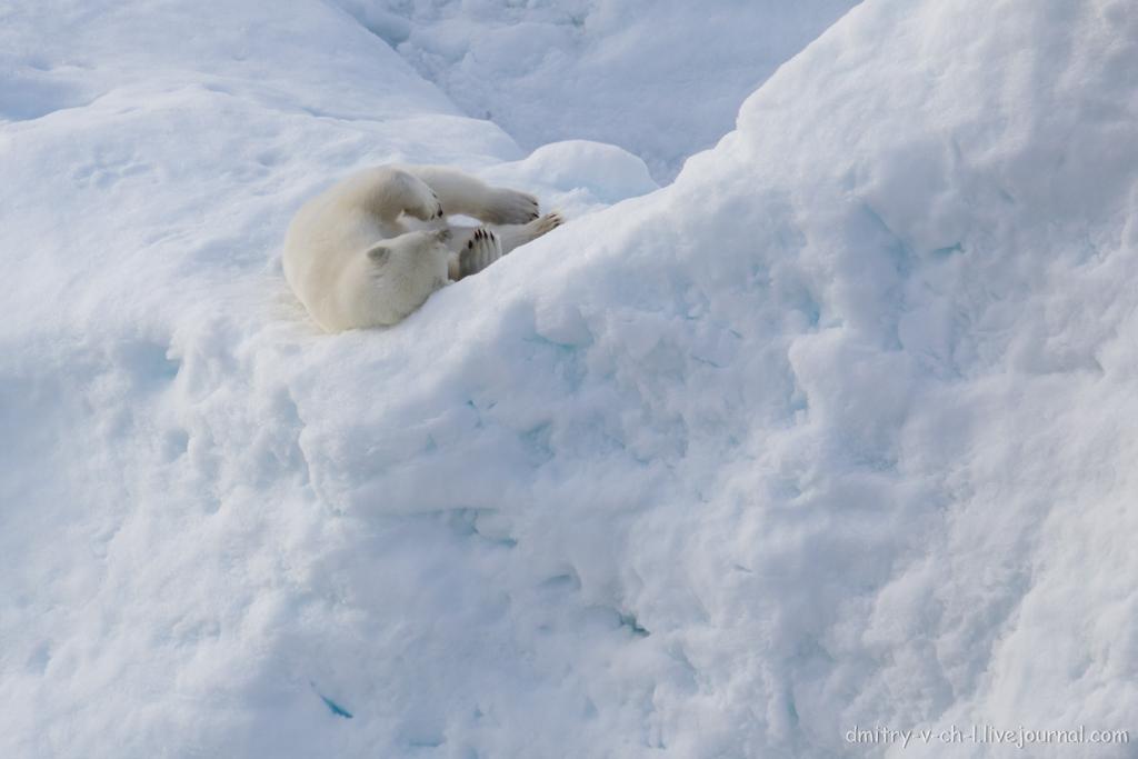 polar bear-25