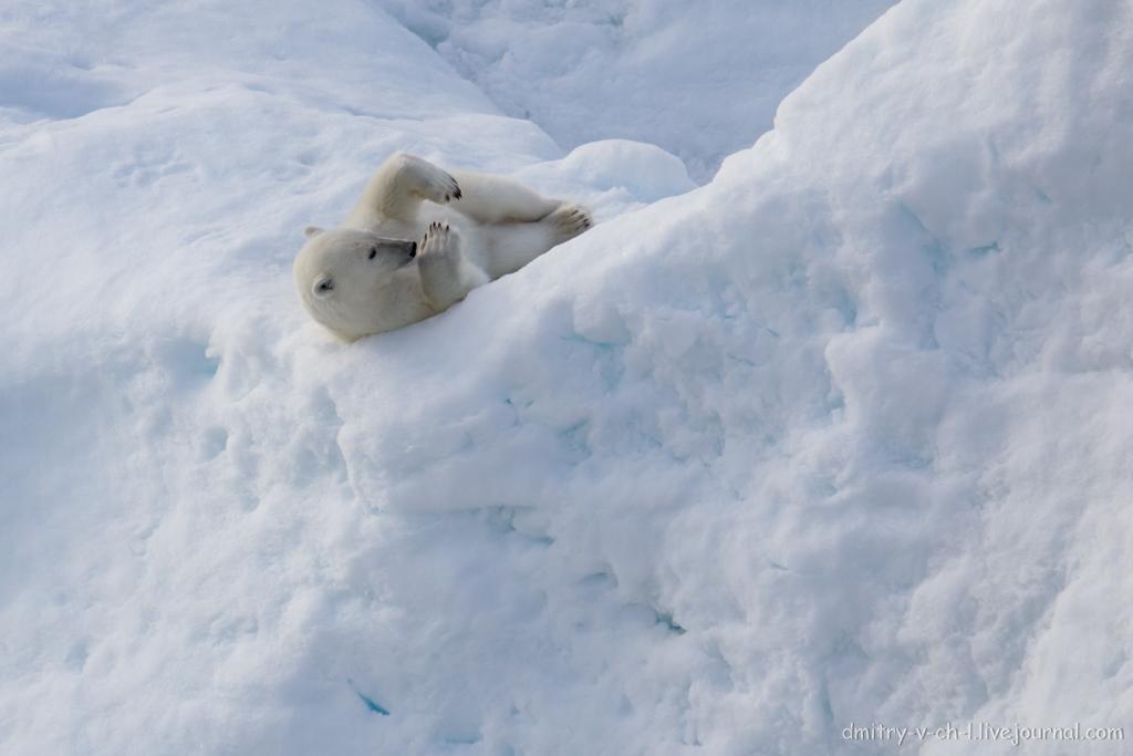 polar bear-26