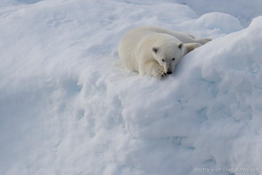 polar bear-29