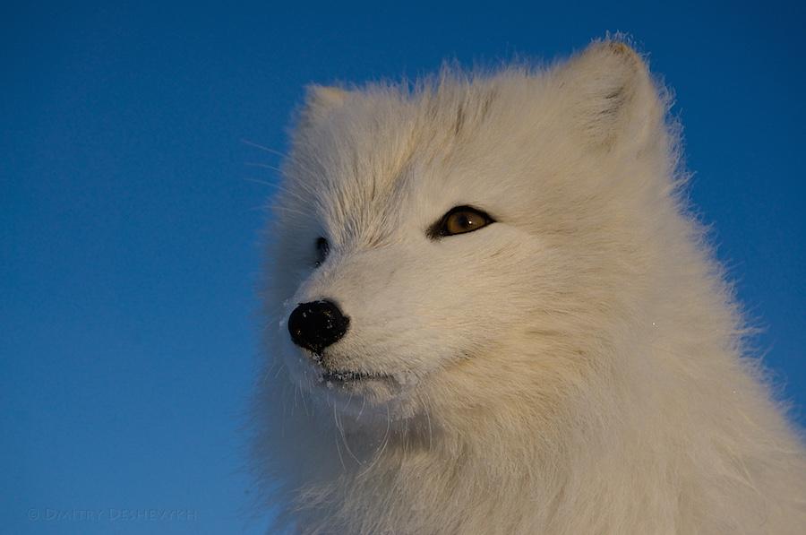 Polar_Fox_04773.jpg