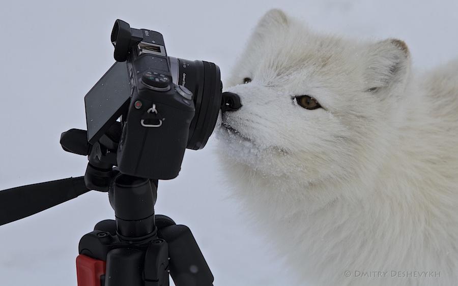 Polar_Fox_1244.jpg