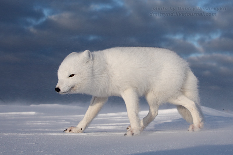 polar fox pic.2