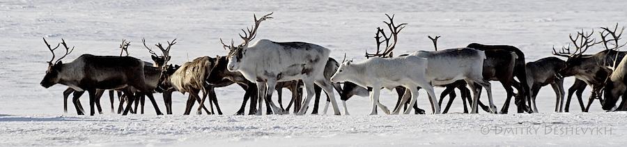 Reindeer_4318.jpg