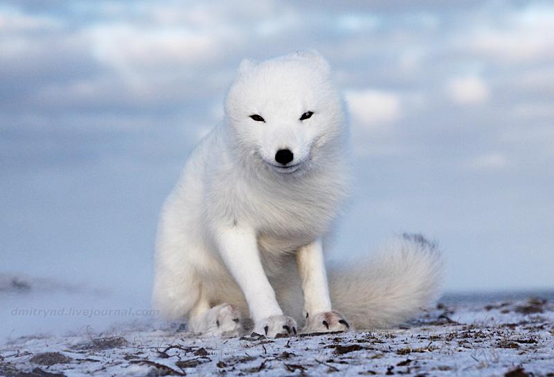 PolarFox_