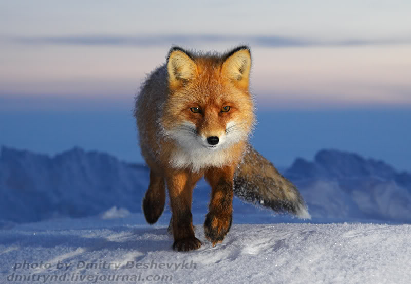 Fox_4133