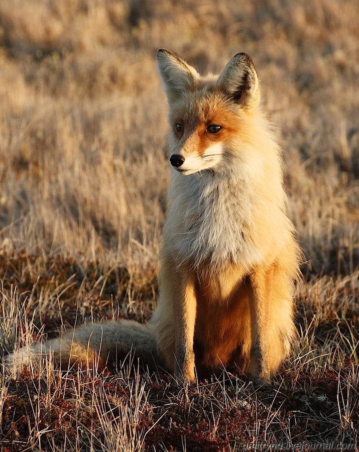 Fox_3454_1 (1)