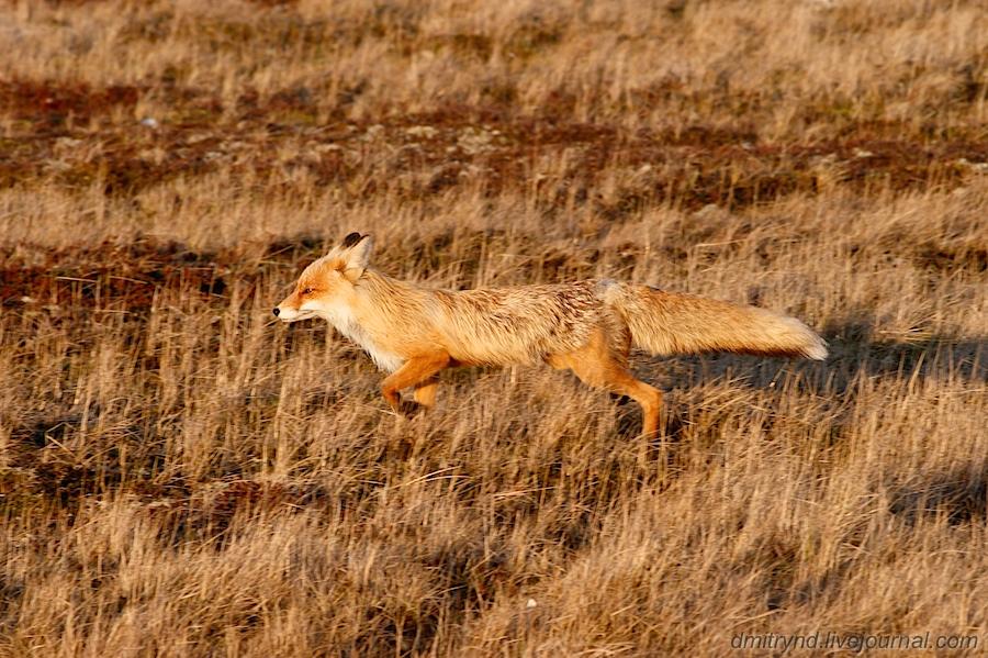 Fox_3582 (1)