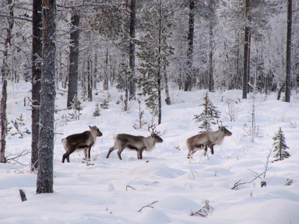 В национальном парке Лаппония