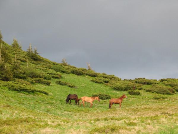 Карпатские лошади