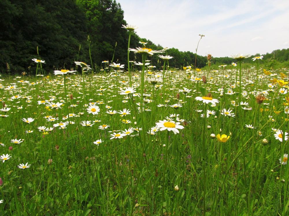 Ромашкова поляна біля Черкас