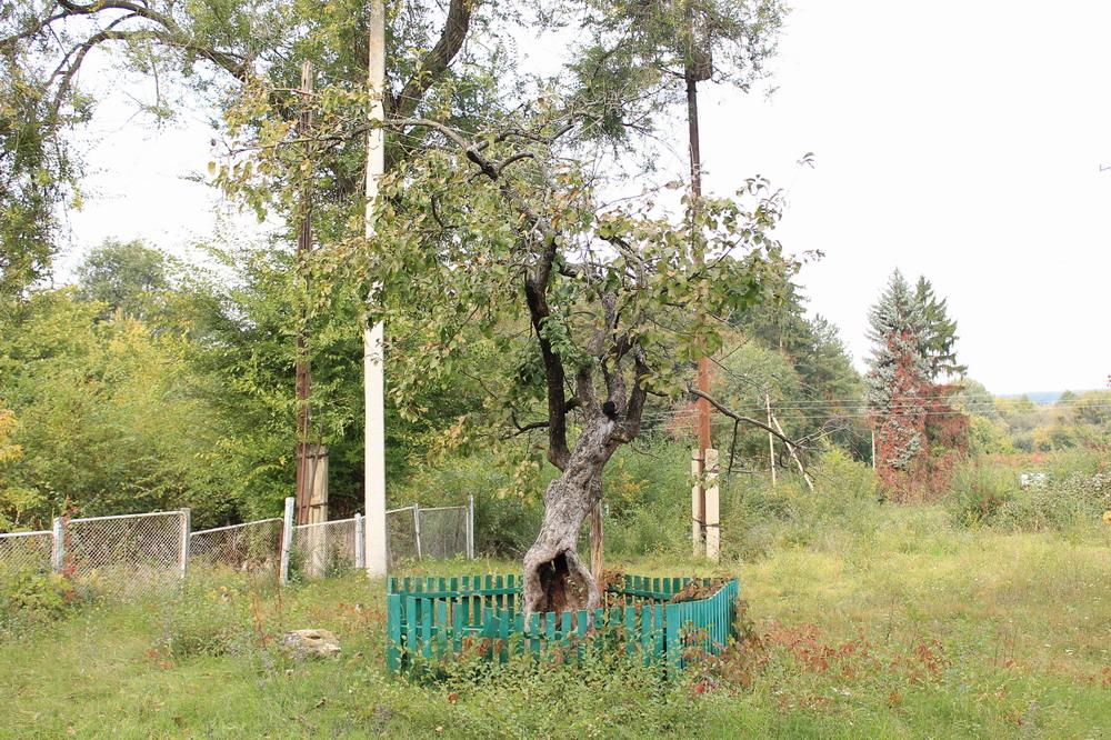 Стара яблуня