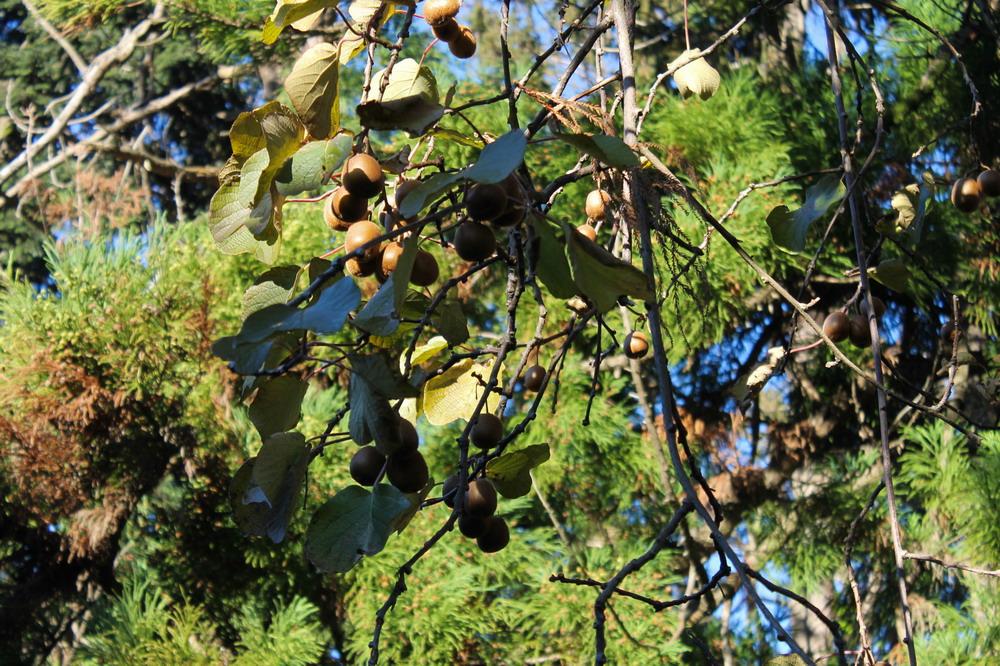 Батумський ботанічний сад