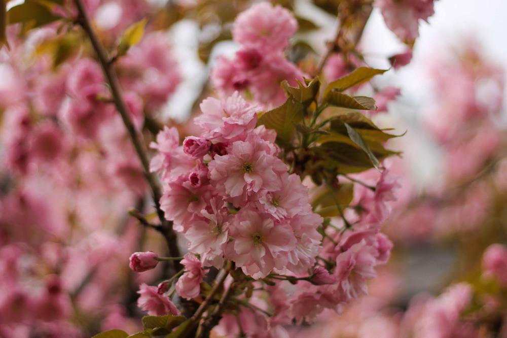 Цвіте сакура в Черкасах