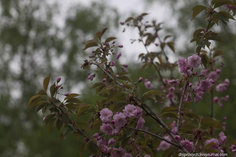 Сакура цвіте в Черкасах