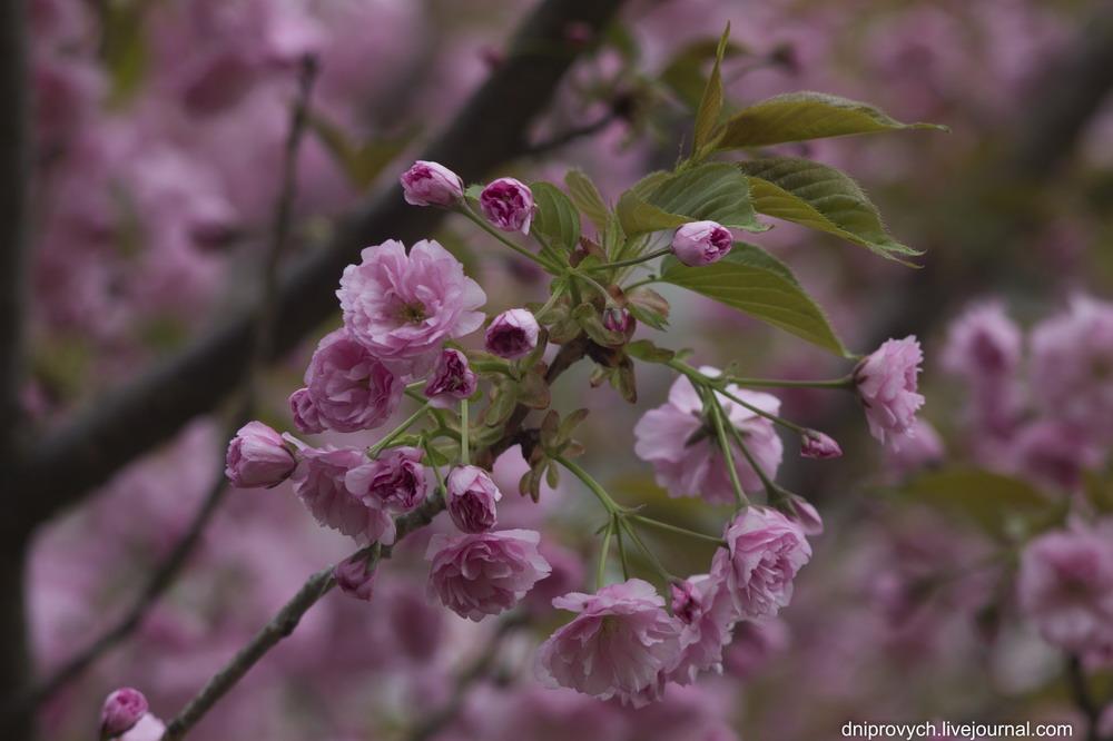 Цвітіння сакури в Черкасах