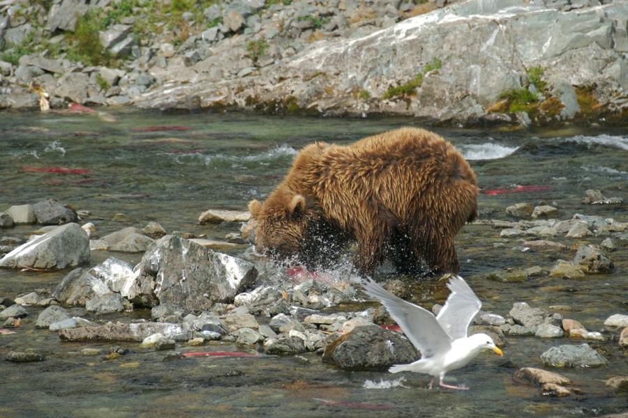 шпилька для ловли медведя
