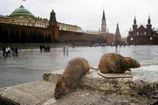 крысы111