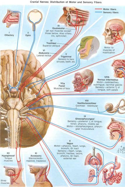 12 пар черепно-мозговых нервов