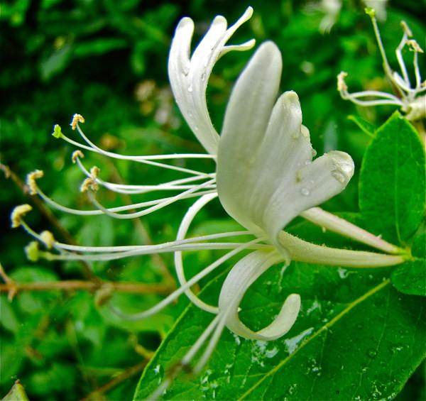 white honeysuckle