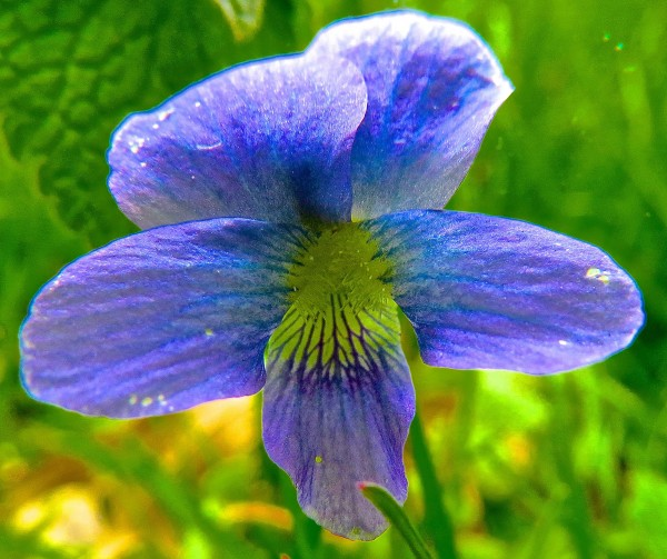 tiny blue and yellow violet thing