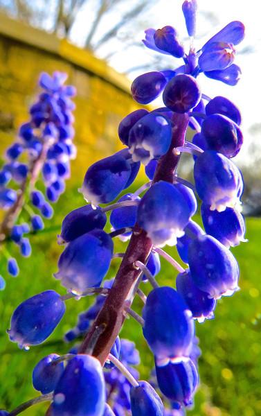 grape looking flower thing