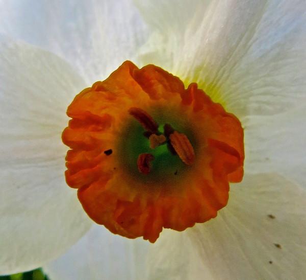 deep orange and white daffodil