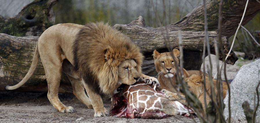 Львы доедают жирафа Мариуса