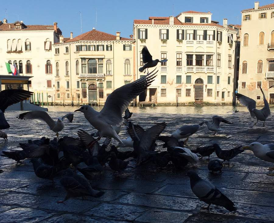 Схватка голубей с чайками