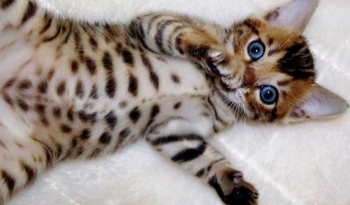 bengal-cat-breed-all-the-characteristics-including-personality-and-history-kitten