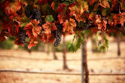 Vino Novello - осеннее итальянское вино