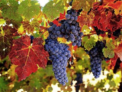 Vino Novello – это красное вино, которое производится в основном в Северной Италии