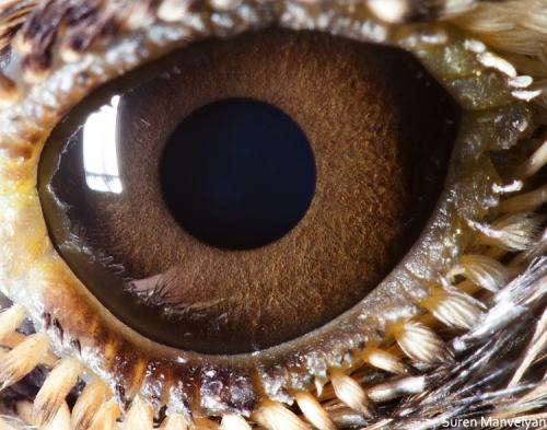 глаза жаворонка