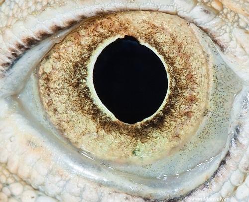 глаза игуаны