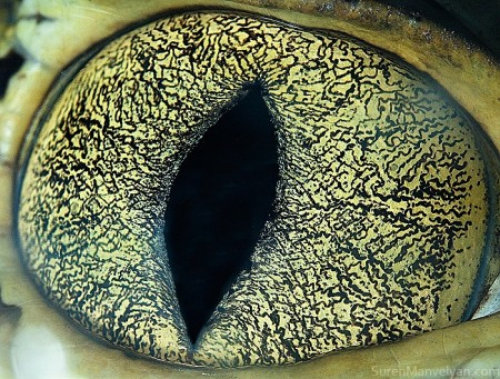 глаза каймана