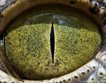 глаза нильского крокодила