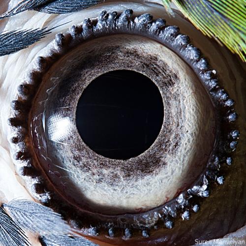 глаза попугая ара