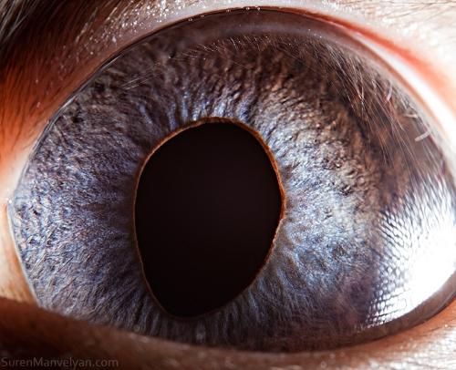 глаза сиамской кошки