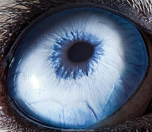 глаза собак хаски