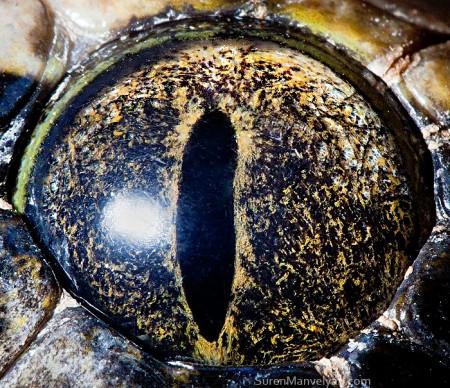 глаза тигрового питона