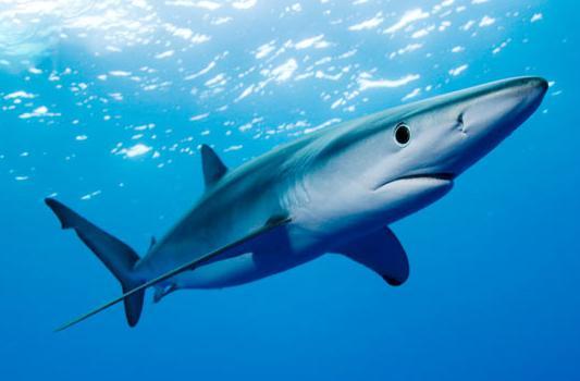 доминикана акула, баваро акула, доминиканская республика, акулы