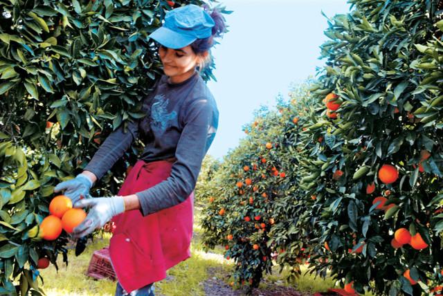 предлагаем когда собирают урожай апельсинов в греции Регина Тодоренко