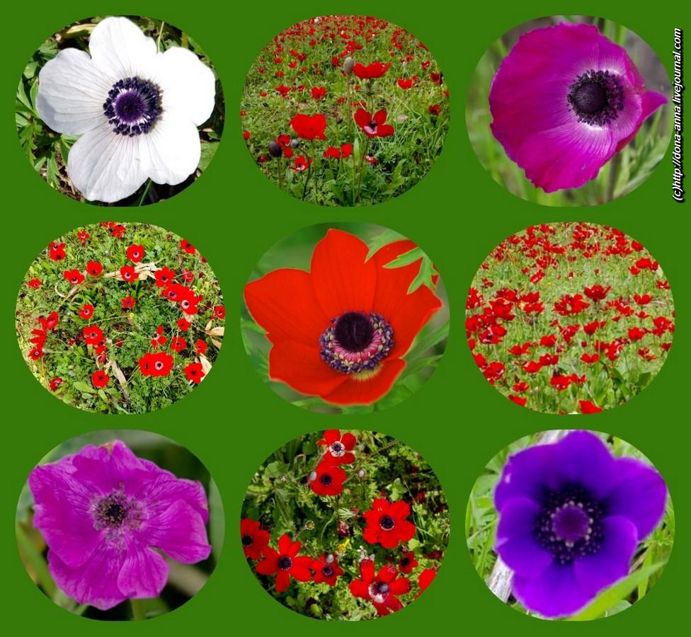 anemone-collage2-a.jpg