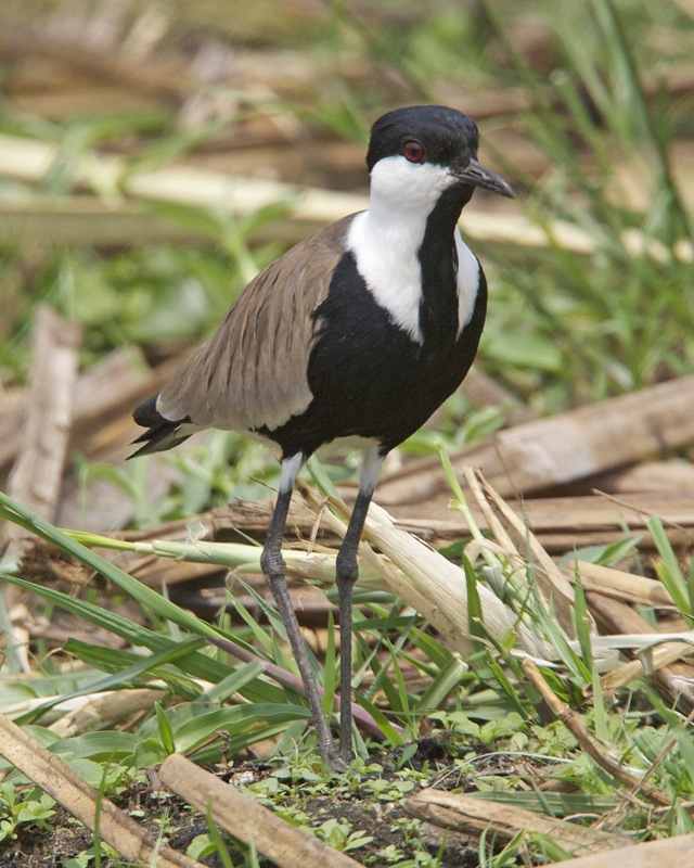 https://upload.wikimedia.org/wikipedia/commons/1/16/Spur-winged_lapwing_Vanellus_spinosus_2.jpg