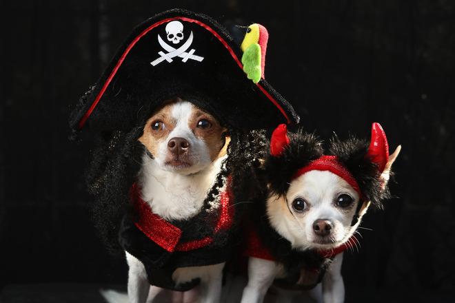 dve-chihuahua-kato-pirat-i-dyavolche