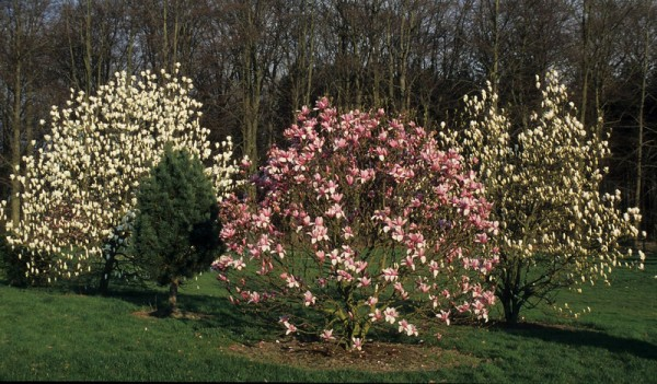 Magnolia 'Star Wars' (campb. x liliiflora) - 92576-waa-208 - 2000.0404 - PdS.10392-L