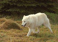 198px-Polarwolf004.jpg