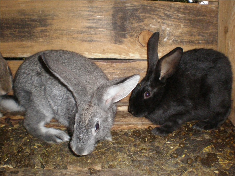 Похороны чеснока, драконий навоз и кроличий целибат PA040098